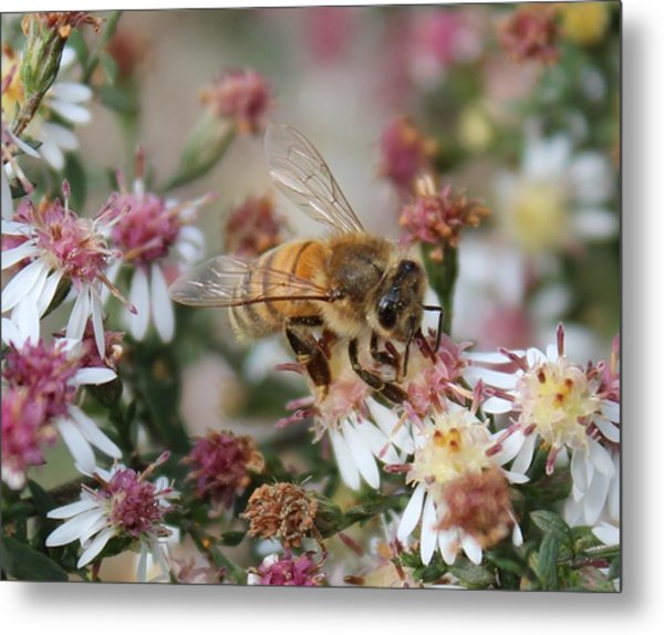 Honeybee Sipping Nectar On Wild Aster Metal Print
