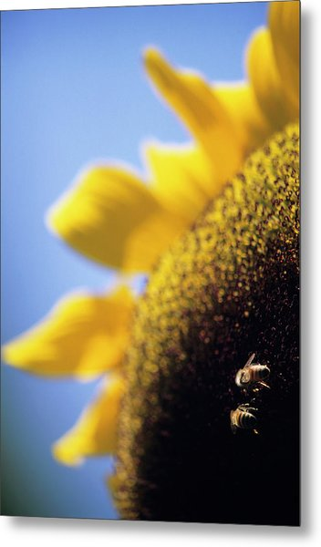 Honeybees Pollinating A Sunflower Metal Print