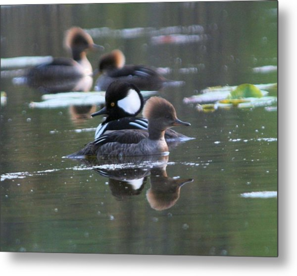 Hooded Merganser Pair Crossed Metal Print