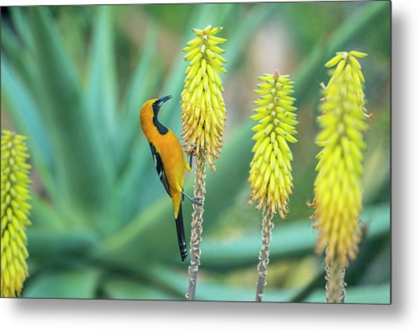 Hooded Oriole Male Feeding On A Flower Metal Print by Gerard Soury