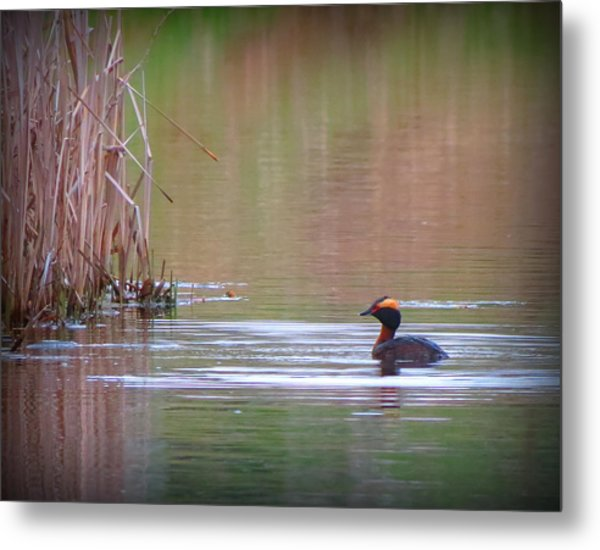 Horned Grebe Metal Print by Marcus Moller