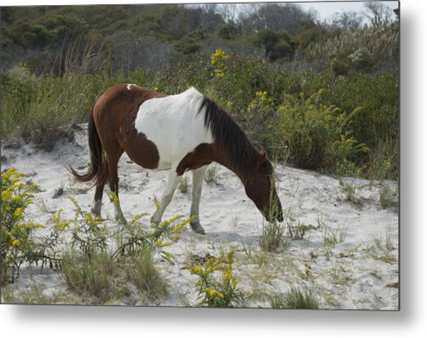 Horse And Dunes Asseteague Island Metal Print