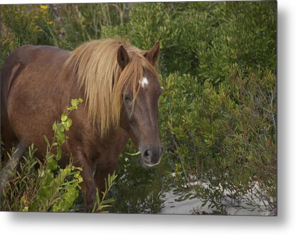 Horse In Asseteague Island Dunes Metal Print