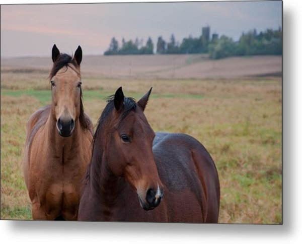 Horses In Rural Northwest Iowa  Metal Print