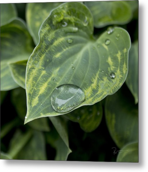 Hosta Metal Print by Stephen Prestek