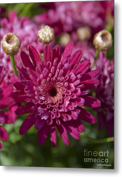 Hot Pink Chrysanthemum Metal Print