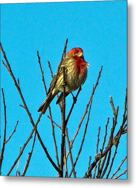 House Finch Metal Print by Constantine Gregory
