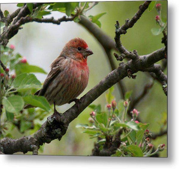 House Finch In Apple Tree Metal Print
