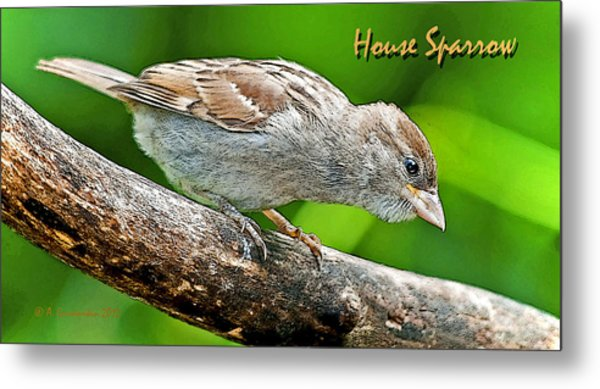 House Sparrow Juvenile Poster Image Metal Print by A Gurmankin