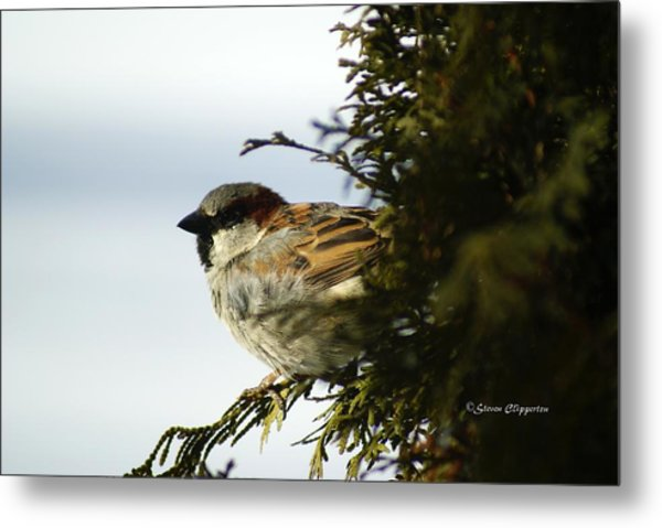 House Sparrow Metal Print