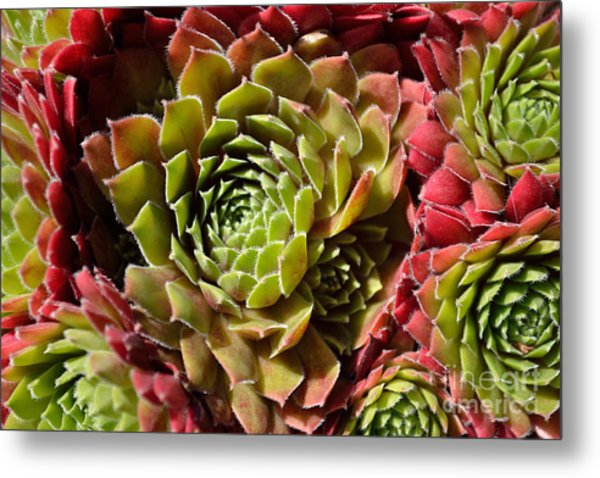 Houseleek Group Metal Print