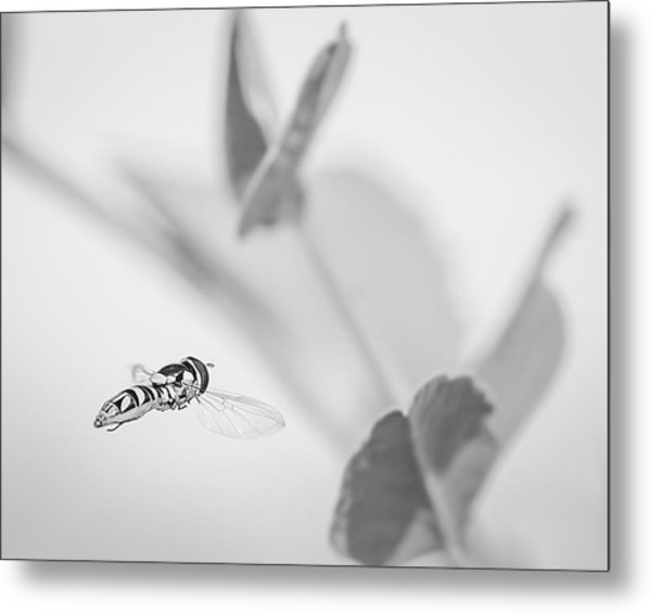 hoverfly in the pea patch B/W Metal Print