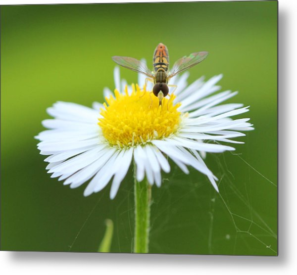 Hoverfly On Flower Metal Print by Brian Magnier
