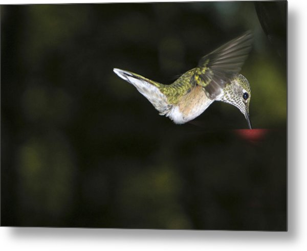 Hovering Beauty Metal Print