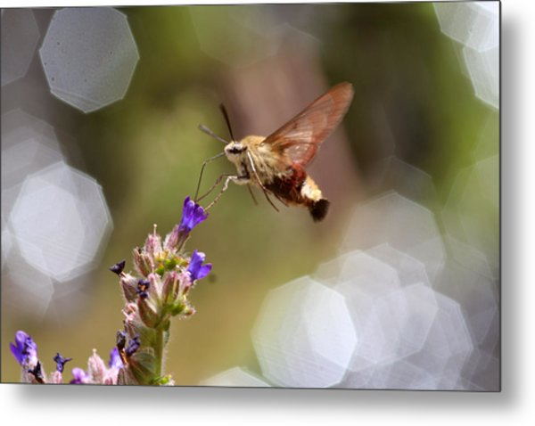Hovering Pollination Metal Print