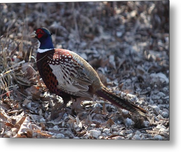 Howard County Pheasant Metal Print