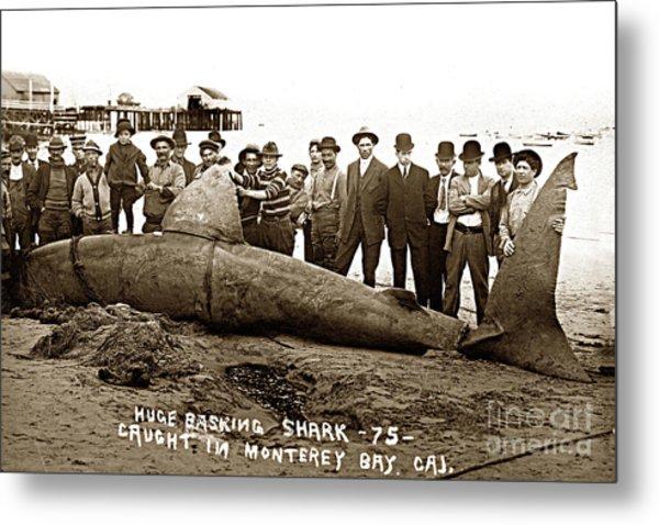 Huge Basking Shark Near Fishermans Wharf Monterey California Circa 1912 Metal Print