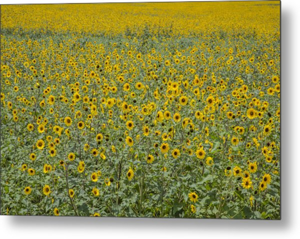 Huge Wild Sunflower Colony Metal Print
