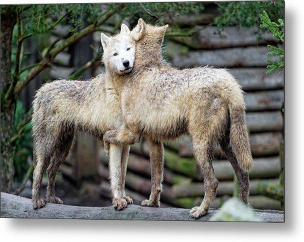 Hugging Arctic Wolves Metal Print