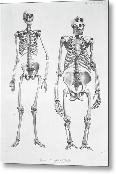 Human And Gorilla Skeletons Metal Print by Natural History Museum, London/science Photo Library