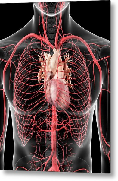 Human Heart And Arteries Metal Print by Sciepro