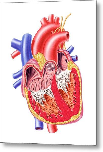 Human Heart, Artwork Metal Print by Leonello Calvetti