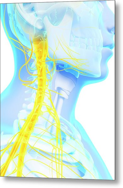 Human Spinal Cord Metal Print