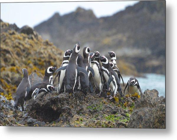 Humboldt Penguins Metal Print by Eric Dewar