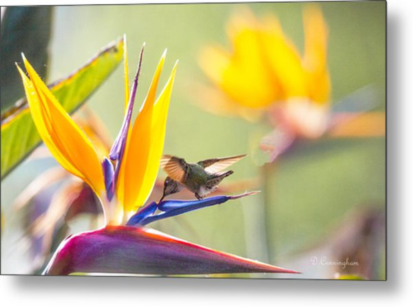Hummer At Bird Of Paradise Metal Print