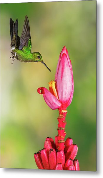Hummingbird , Green-crowned Brilliant Metal Print by Kencanning