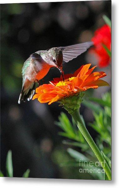 Hummingbird And Zinnia Metal Print