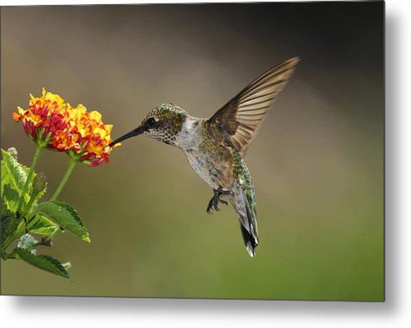 Hummingbird Feeding On Lantana Metal Print by DansPhotoArt on flickr