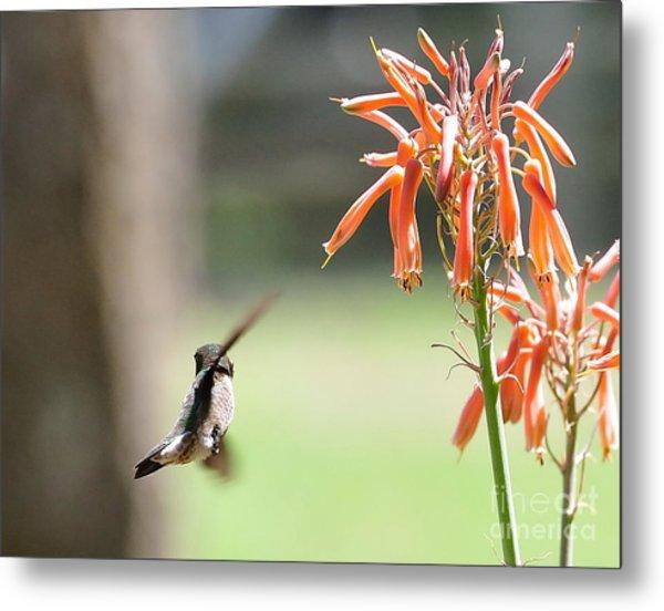 Hummingbird Flight Orange - Change In Path Of Flight Metal Print by Wayne Nielsen