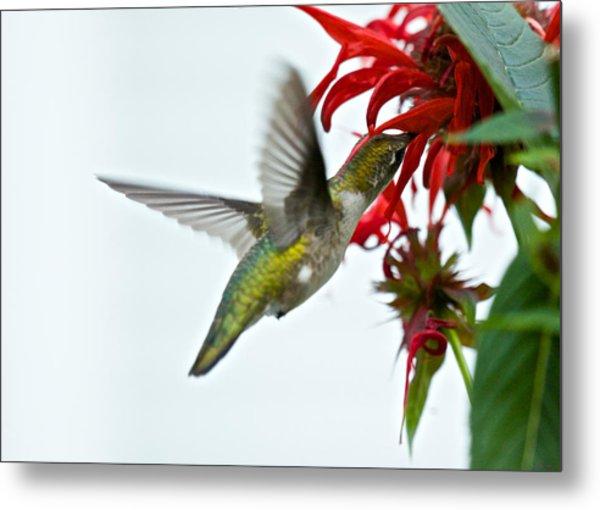 Hummingbird Focused On The Scarlet Bee Balm Metal Print