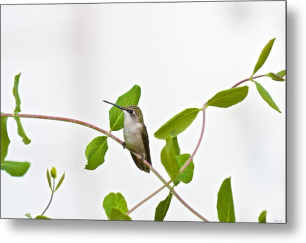 Hummingbird Hanging Out On The Honeysuckle Metal Print