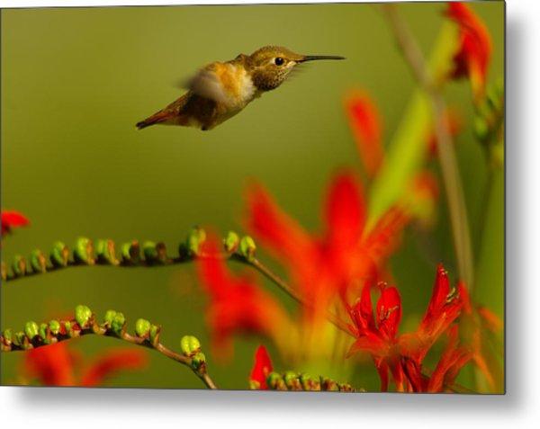 Hummingbird In A Rush Metal Print
