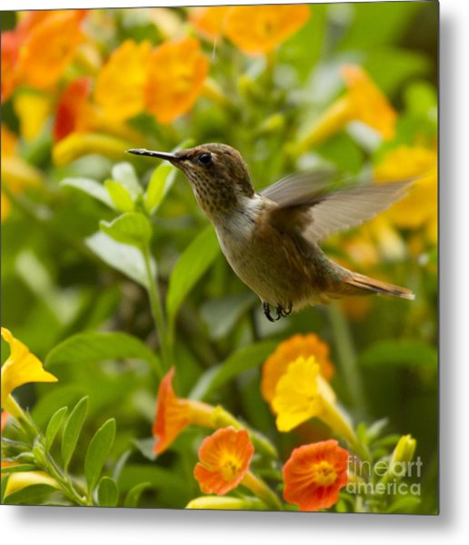 Hummingbird Looking For Food Metal Print