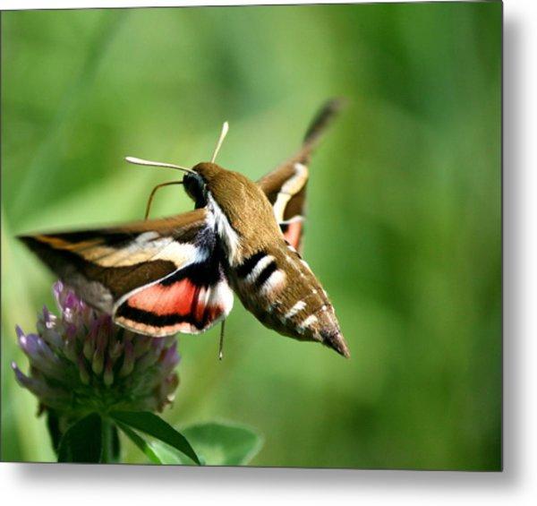 Hummingbird Moth From Behind Metal Print