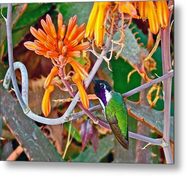 Hummingbird On Aloe In Living Desert In Palm Desert-california Metal Print