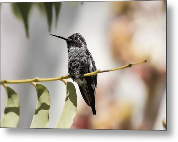 Hummingbird On Branch Metal Print