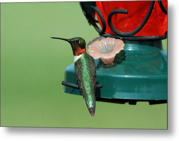 Hummingbird On Feeder Metal Print