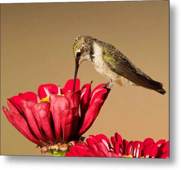 Hummingbird Perched On A Zinnia Metal Print