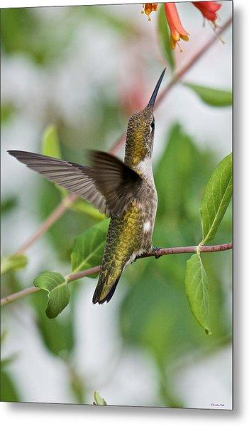 Hummingbird Reaching For The Blossoms Metal Print