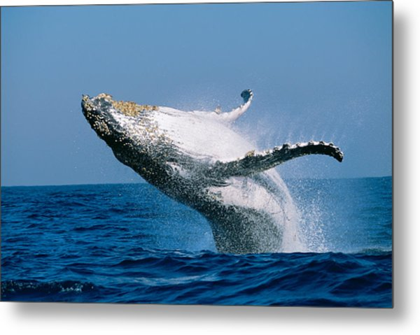 Humpback Whale Megaptera Novaeangliae Metal Print