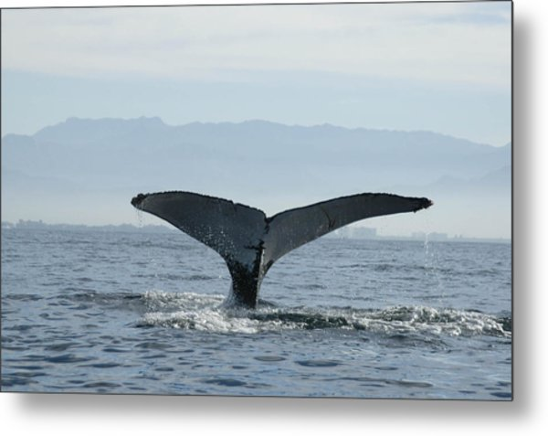 Humpback Whale Tail 3 Metal Print