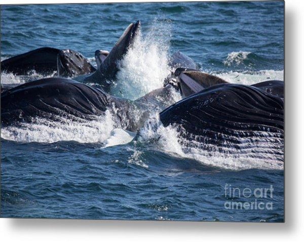 Humpback Whales Feeding Metal Print