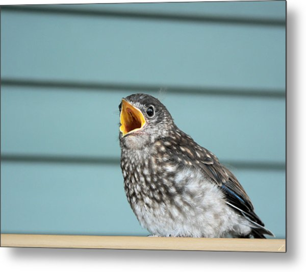 Hungry Baby Bluebird  Metal Print