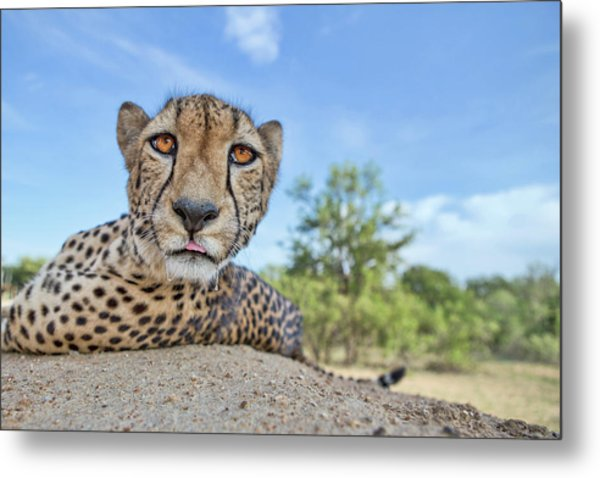 Hungry Cheetah Metal Print by Alessandro Catta