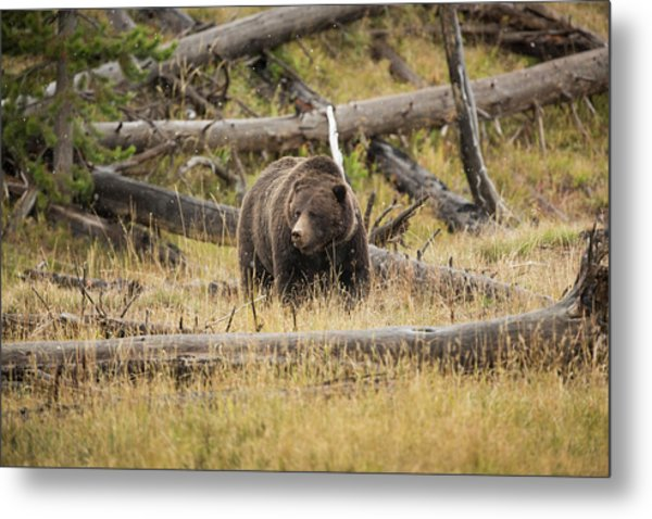 Hungry Grizzly Bear Metal Print by © J. Bingaman Photography