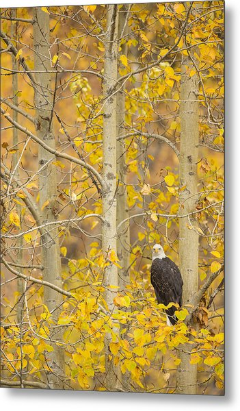 Hunting From An Aspen Metal Print